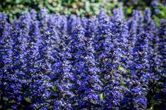 Purple flowers Hamilton Gardens New Zealand