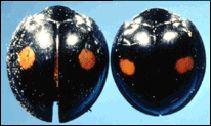 small black ladybugs imported from Korea