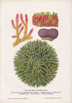 1900 coral original antique sea life print by antiqueprintstore, $25.50