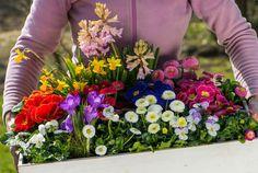 Do wyboru, do koloru! O tej porze roku mamy w handlu duży wybór pierwszych wiosennych kwiatów kwitnących w doniczkach. Można z nich przygotować wspaniałe kompozycje, które ożywią każde wnętrze, a także upiększą balkon lub taras (zdj. Fotolia.com).