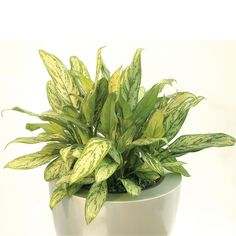 """Aglaonema """"Silver Queen"""", an exotic beauty that's great for that stale filtering office air and isn't fussy about light conditions either!"""