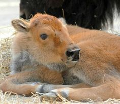 Baby bison!!!