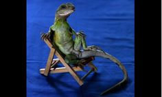 A one-year-old lizard strikes a pose while being trained to appear in movies and television commercials.