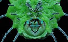 Giant Silkworm or Atlas Moth Larva (Attacus atlas) | Flickr - Photo Sharing!