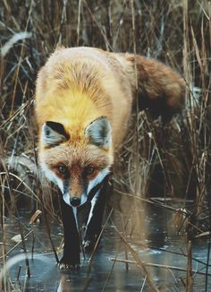 Foxes are oh so cute...wouldn't mind trapping one!
