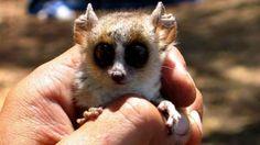 ratón lemur