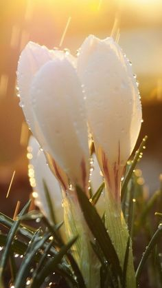 Crocus in a sun shower