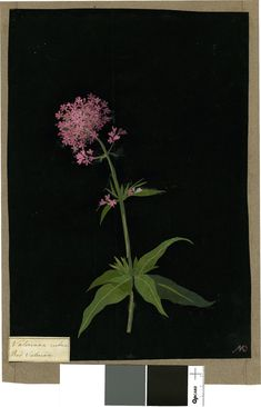 Valeriana Rubra, from an album (Vol.X, 74); Red Valerian. 1781 Collage of coloured papers, with bodycolour and watercolour, on black ink background