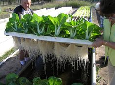 How Home Aquaponics Can Deliver A Never-Ending Supply Of Food - http://www.offthegridnews.com/2014/09/04/how-home-aquaponics-can-deliver-a-never-ending-supply-of-food/