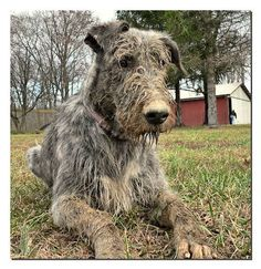 Puppies do love to dig in the mud Irish Wolfhounds, Gentle Giant, Beautiful Dogs, Dog Pictures, Mud, Puppies, Boys, Animals, Wolfhound