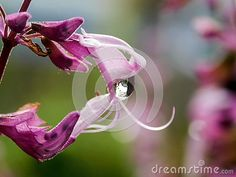 Photo about A close-up view of a single rain drop stuck in the petals of a purple Salvia flower. Image of water, gardens, plants - 141292371