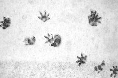Possum tracks - These look just like the tracks I saw this morning on my driveway in front of my garage. In 14 years in my neighborhood, have only seen rabbits and one raccoon. Possum must be a new resident. Animal Footprints, North American Animals, Animal Tracks, Paw Prints, Sweet Sweet, Rabbits, Wildlife, Garage, Snow