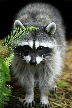 Fletcher Cute Raccoon by (Arman Werth) on Flckr Forest Animals, Nature Animals, Woodland Animals, Animals And Pets, Baby Animals, Funny Animals, Cute Animals, Strange Animals, Wild Animals