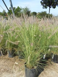 PENNISETUM setaceum | Evergreen Nursery