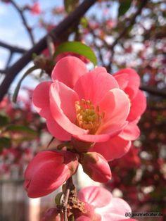 Japanische Quitte #gardening #flower #spring #frühling #garten #obst