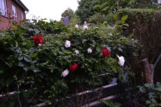 Roses in my garden .