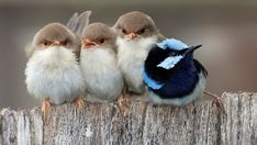 Cuddling fairy wrens. (48) Tumblr