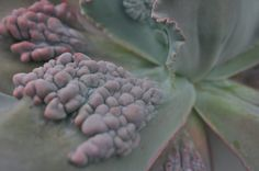 How can this be real? Jonathan's favorite succulent in our greenhouse, Echeveria gibbiflora carunculata.