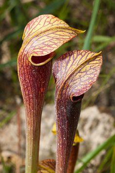 Pale Pitcher Plant