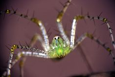Green Lynx Spider image taken in the Kruger National Park Macro Photography, Wildlife Photography, Kruger National Park, National Parks, Worm Images, Scorpion Image, Great Photos, Cool Pictures, Huntsman Spider