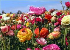 ranunculus . easy to maintain