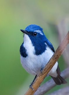 The Ultramarine Flycatcher or the White-browed  Blue Flycatcher found in the foothills of the Himalayas and during winters in southern India.