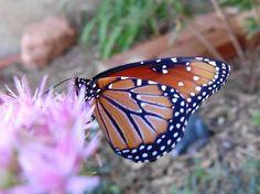 Butterflies Love Sedum.