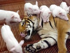 Sai Mai, a female tiger, plays with baby pigs.