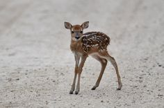 White-tailed Deer Fawn!!