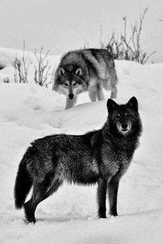 Two Wolves Lou garou ,,,, Wolf Spirit, Spirit Animal, Wolf Pictures, Animal Pictures, Free Pictures, Beautiful Creatures, Animals Beautiful, Tier Wolf, Animals And Pets