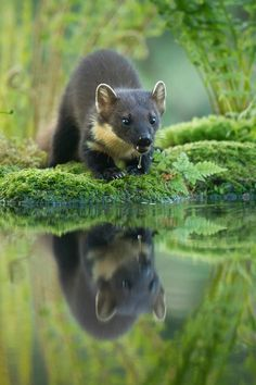 Rare Reflection by Geoff Stoddart (pine Marten) Amazing Animal Pictures, Funny Animal Pictures, Wildlife Photography, Animal Photography, Beautiful Creatures, Animals Beautiful, Baby Animals, Cute Animals, Pine Marten