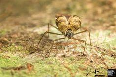 Lace bug - Tingidae / ( Ypsotingis sp. ) by EVP David