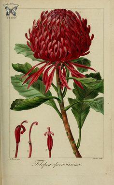Waratah (Telopea speciosissima). Herbier général de l'amateur, vol. 8 (1817-1827) [P. Bessa]