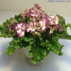ЛЕ-Коко Шанель, детка 23.04. Пример цветения из Сети, ссылка на источник под фото. На мой вкус, лучшее пока что фото сорта :-) Браво владелице!