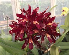 Cattlianthe Chocolate Drop 'Volcano Queen' (Cattleya guttata x Guarianthe aurantiaca) #cattlianthe #guarianthe #cattleya #fragrant #orchid #orchidsbyhausermann | by Orchids by Hausermann