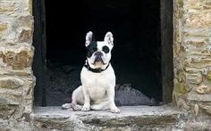 How did the French bulldog become Britain's top dog?