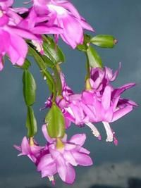 How to care for the Christmas Cactus plant.