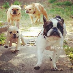 Stampede! French Bulldogs on the Run <3