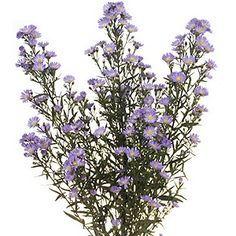 Lavender Aster Flowers Popular filler flowers to decorate your bouquets, centerpieces and other floral arrangements.