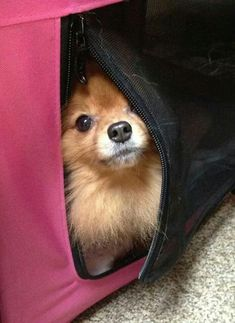 pomeranian look out