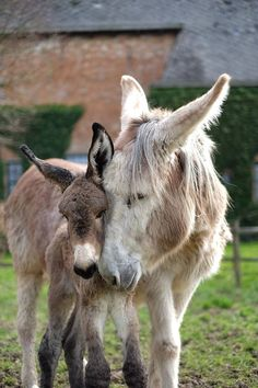 """""""Ça y est ! Orangina a préféré attendre la nuit du 6 au 7 avril pour donner naissance à son petit. C'est donc notre premier ânon de la saison 2015. C'est un petit mâle et il s'appelle Fernand Emoticón smile Bienvenue à lui! Courtesy: SPRL Asinerie du Pays des Collines. Frasnes-lez-Buissenal, (Belgique)."""""""