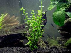 A low-maintenance stem plant with small, bright green leaves.  Moneywort is a popular stem plant that grows quickly and has exceptionally bright green leaves. This plant can thrive even in poorly lit aquariums. In the right conditions, it is a very aggressive grower and provides excellent waste removal from the water column.