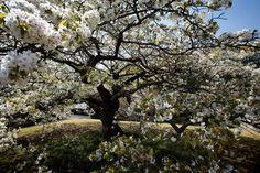 Full bloom #japan #wanderlust #tokyo #cherryblossom #nature #tree #composition #instajapan