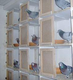 Pigeon Racing Loft and Pigeon Racing