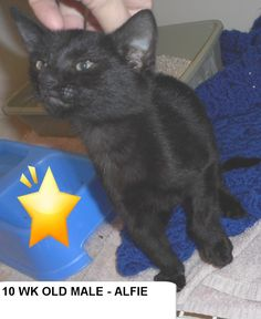 Alfie is an adoptable Cat - Domestic Short Hair searching for a forever family near Elizabethown, NC. Use Petfinder to find adoptable pets in your area.