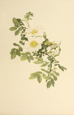 Rosa Virginiana Alba. Illustration taken from 'The Genus Rosa' by E. A. Willmott. Illustrations by Alfred Parsons. Published 1914 by John Murray. London. Harvard Botany Libraries.