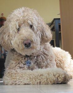 Maddux :-)  My fluffy Labradoodle