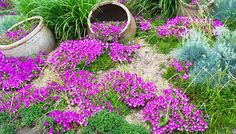 Verbena Ground Cover Landscape Ideas | Mountain Gardening: Groundcovers Solve Landscape Problems