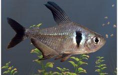 Phantom Tetra Fish Sea Aquarium, Nano Aquarium, Tropical Aquarium, Freshwater Aquarium Fish, Aquarium Ideas, Marine Aquarium, Marine Fish, Planted Aquarium, Tetra Fish