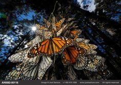 Millions of monarch butterflies spend the winter at Sierra Chincua in Mexico, one of only five places on earth where monarchs winter before migrating back north in spring. Logging threatens this gathering – after forest was cleared from one of the sites, the monarchs stopped visiting it. Even though the area is a World Heritage site with 56,000 hectares set aside, logging continues.